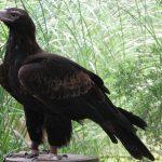 عقاب دمگوهای
