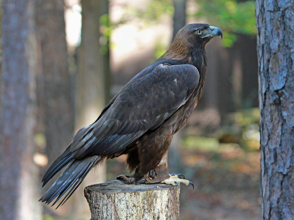 عقاب طلایی