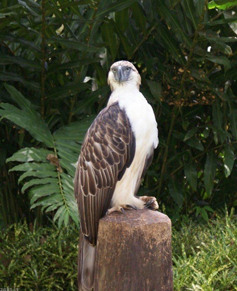 عقاب فیلیپینیعقاب فیلیپینی