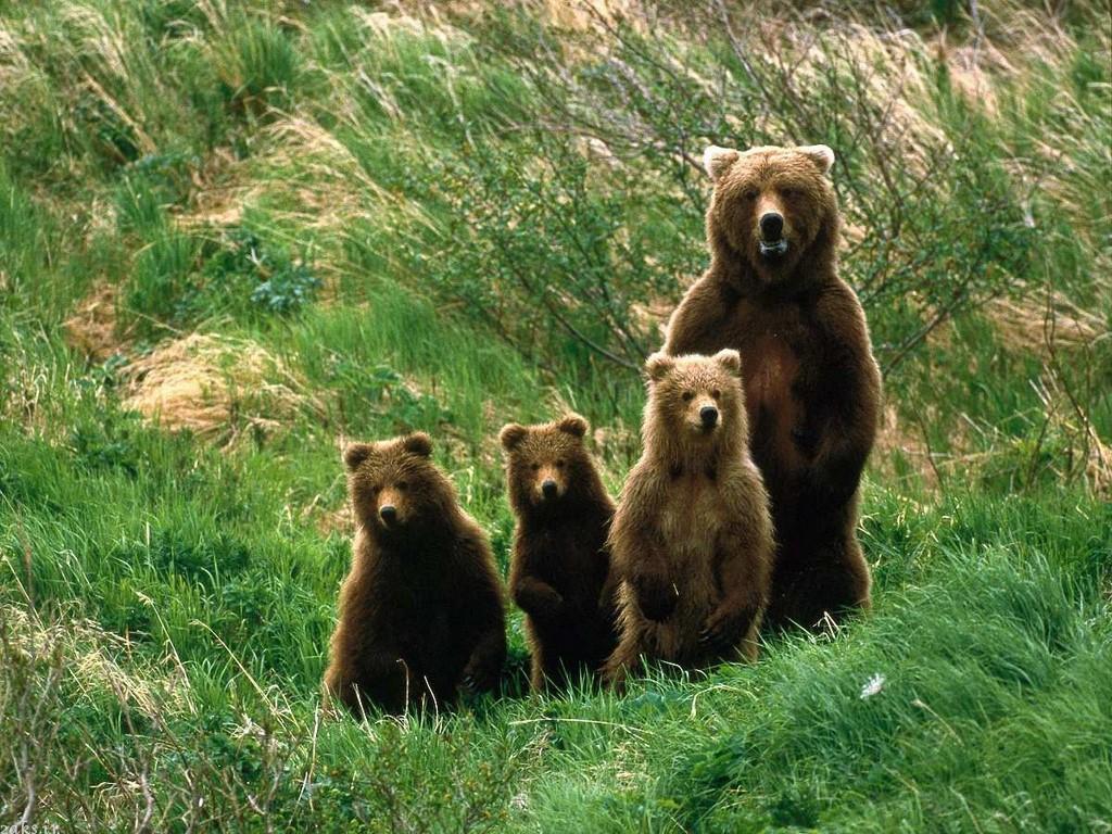 عکسهای خرس