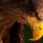 عکسهای عقاب