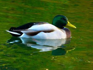 عکس اردک