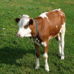 عکس بچه گاو