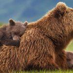 عکس خرس