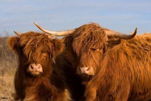 عکس گاوها