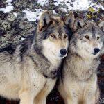عکس گرگها
