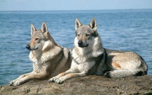 عکس گرگ ها