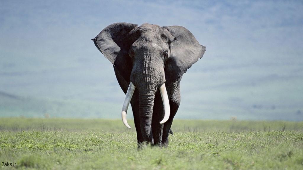 فیل بزرگ