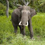 فیل در پارک