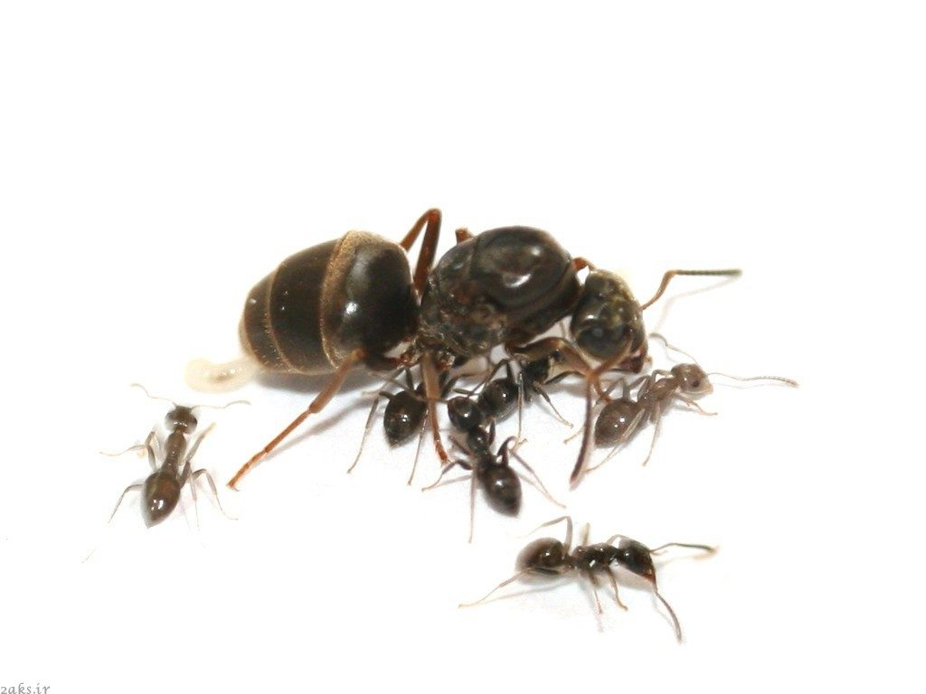 مورچهٔ باغی سیاه