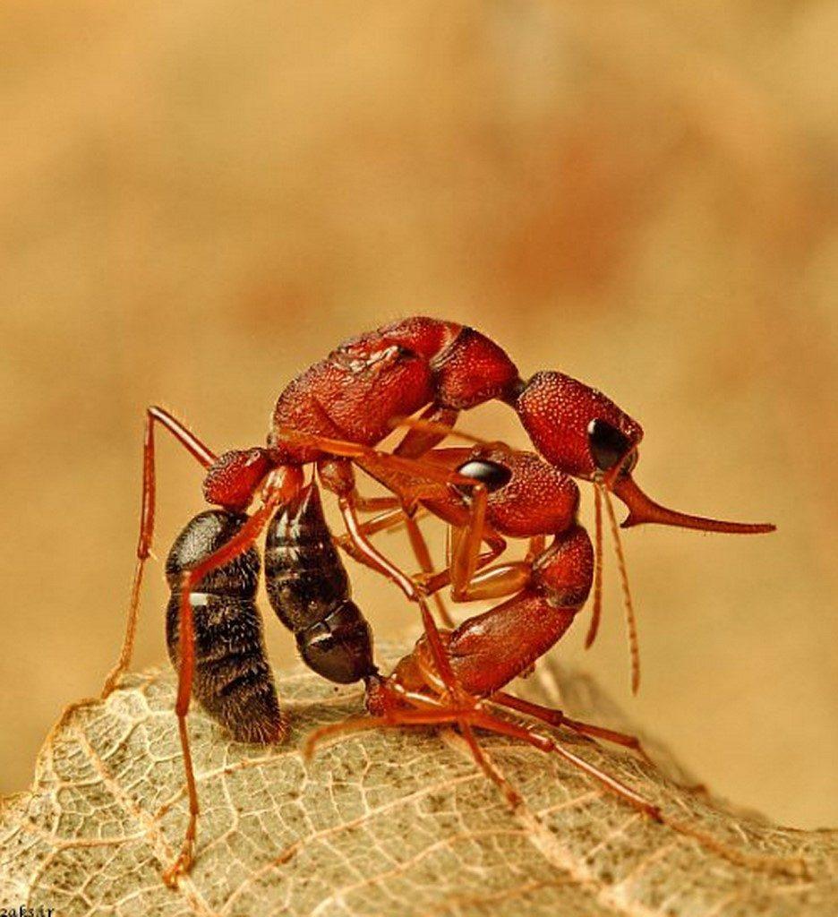 مورچه کمرباریک
