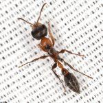مورچه ترکهای دراز