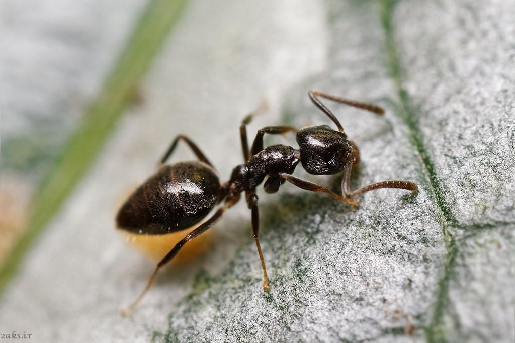 مورچه خانگی بدبو