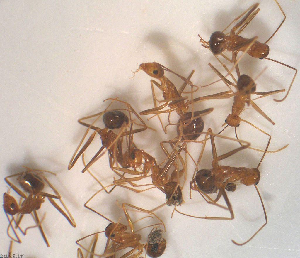 مورچه دیوانه زرد