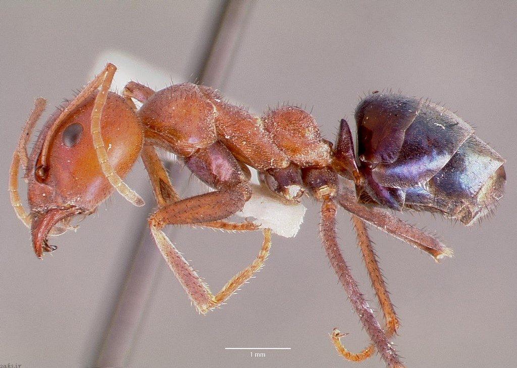 مورچه گوشتخوار