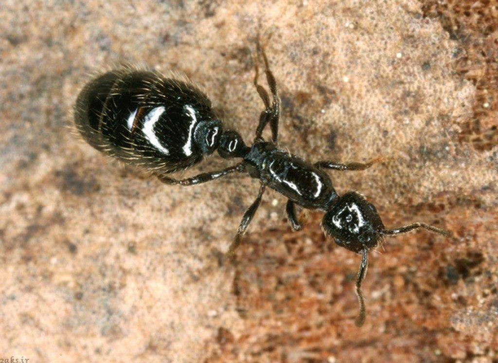 مورچۀ سیاه