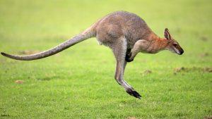 پرش کانگورو