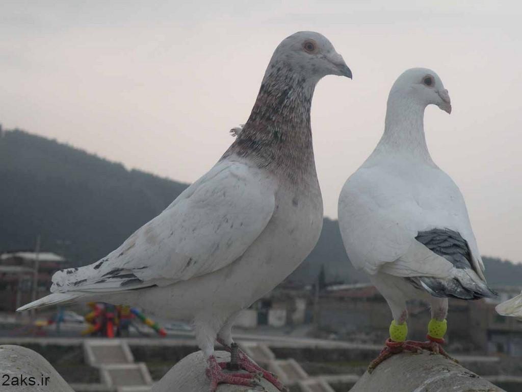 کبوترهای زیبا