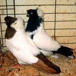 کبوتر اچ دی