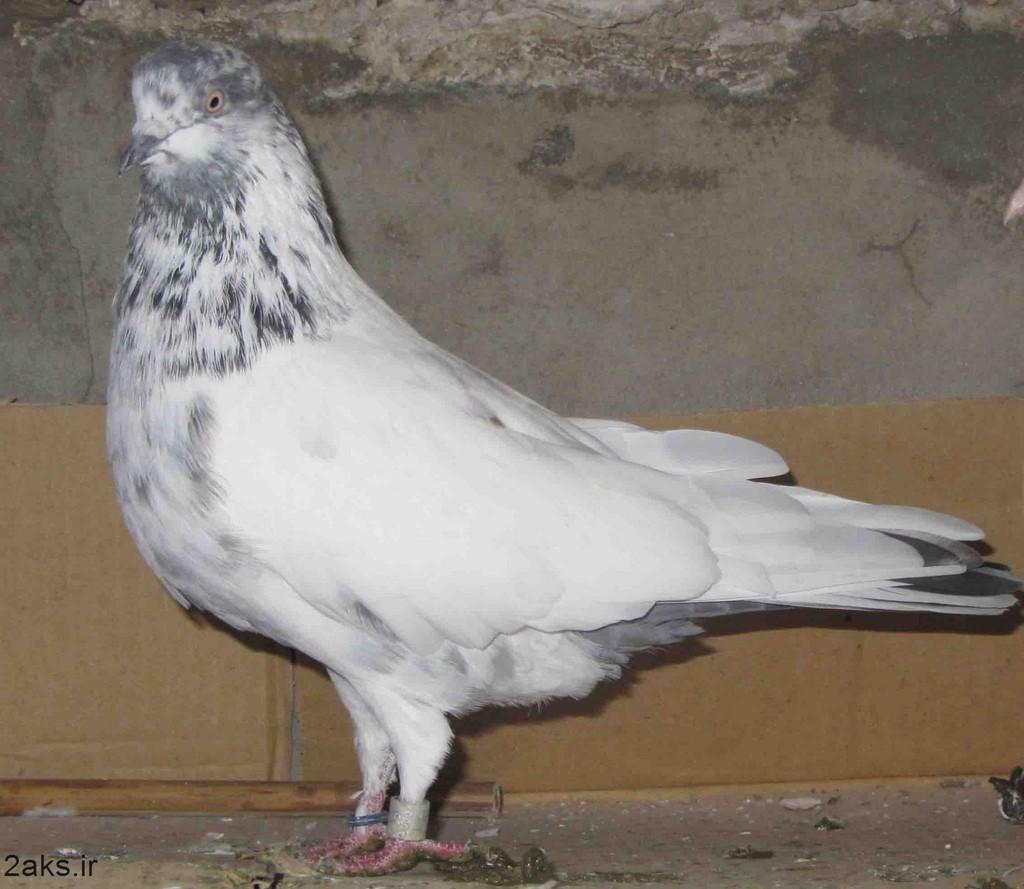 کبوتر ایرانی