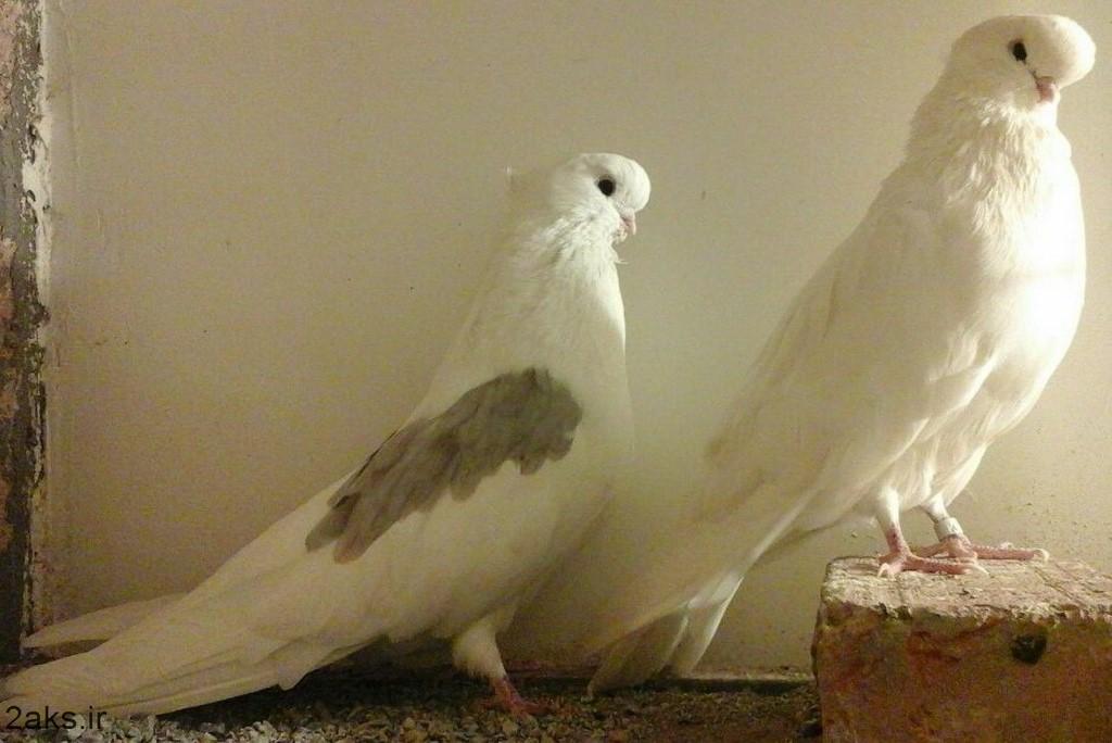 کبوتر با کیفیت بالا