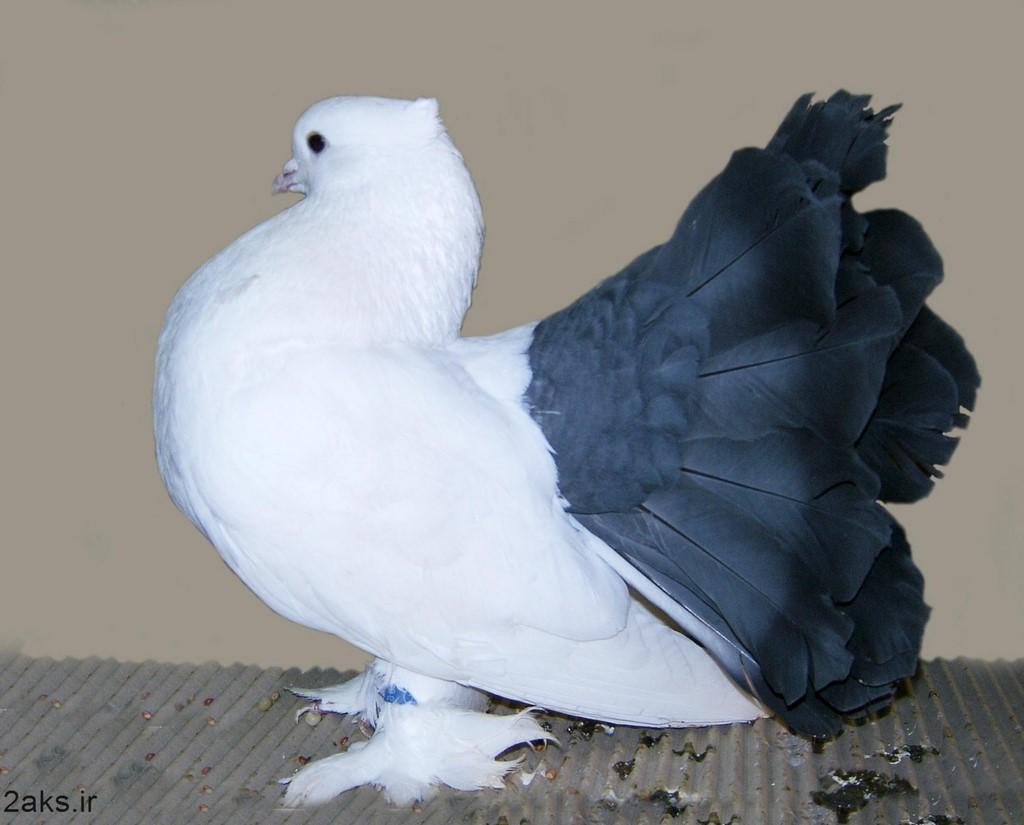 کبوتر ها