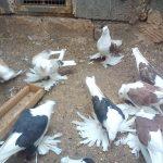کبوتر پا پر