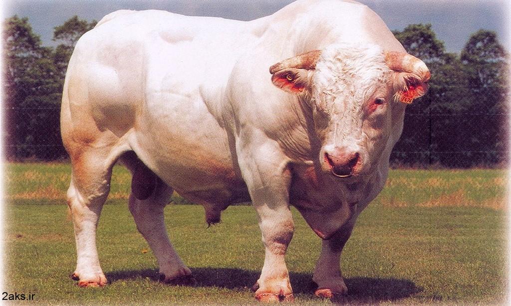 گاو خارجی