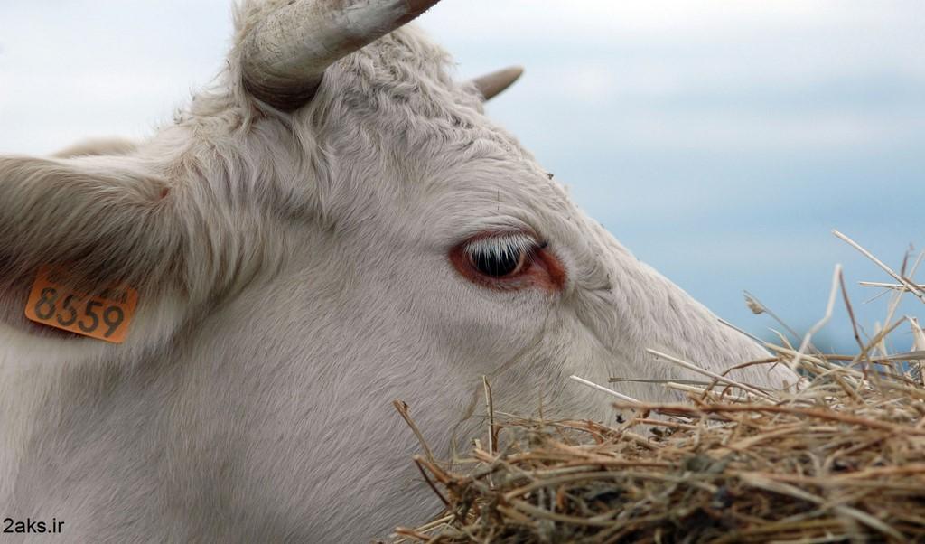 گاو سفید