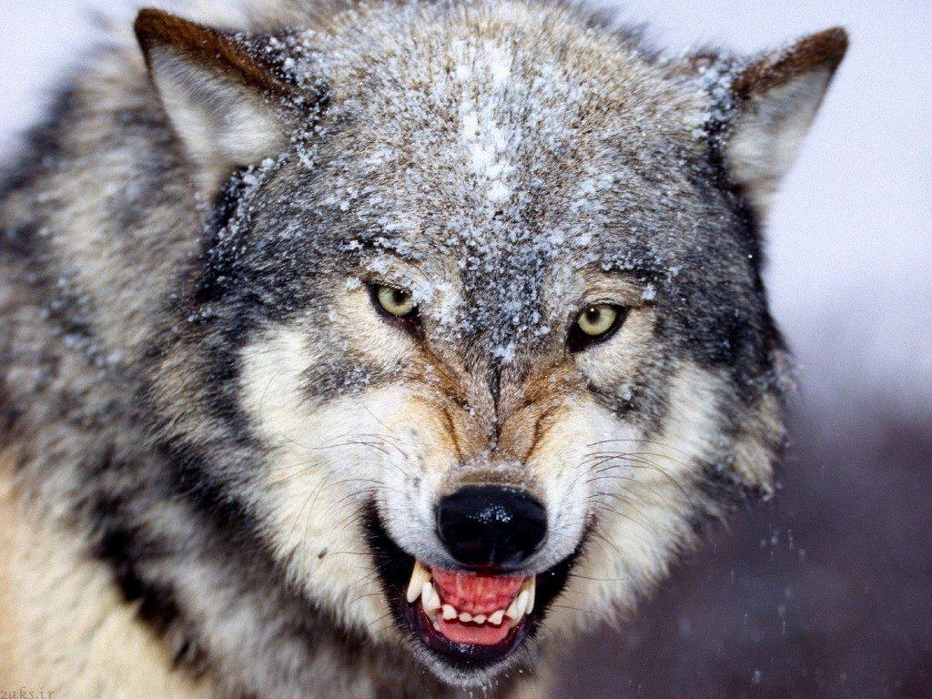 گرگ با کیفیت بالا