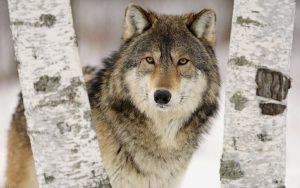 گرگ زیبا