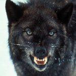 گرگ سیاه