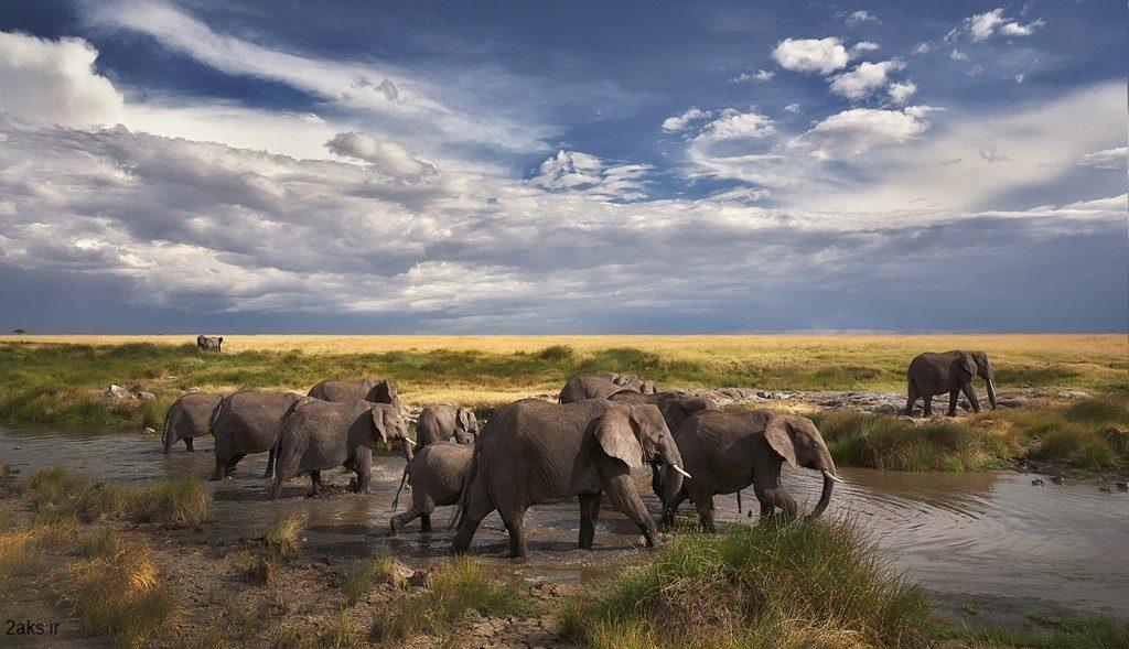 گله فیل