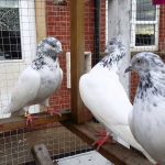 عکس کبوترها