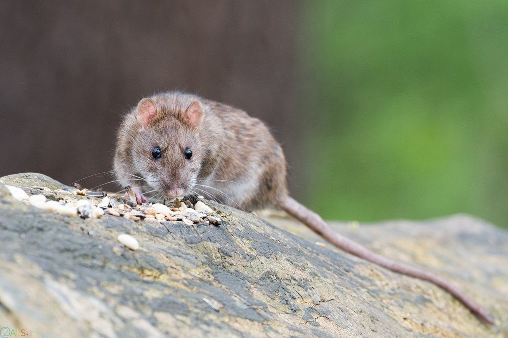 تصاویر موش ها