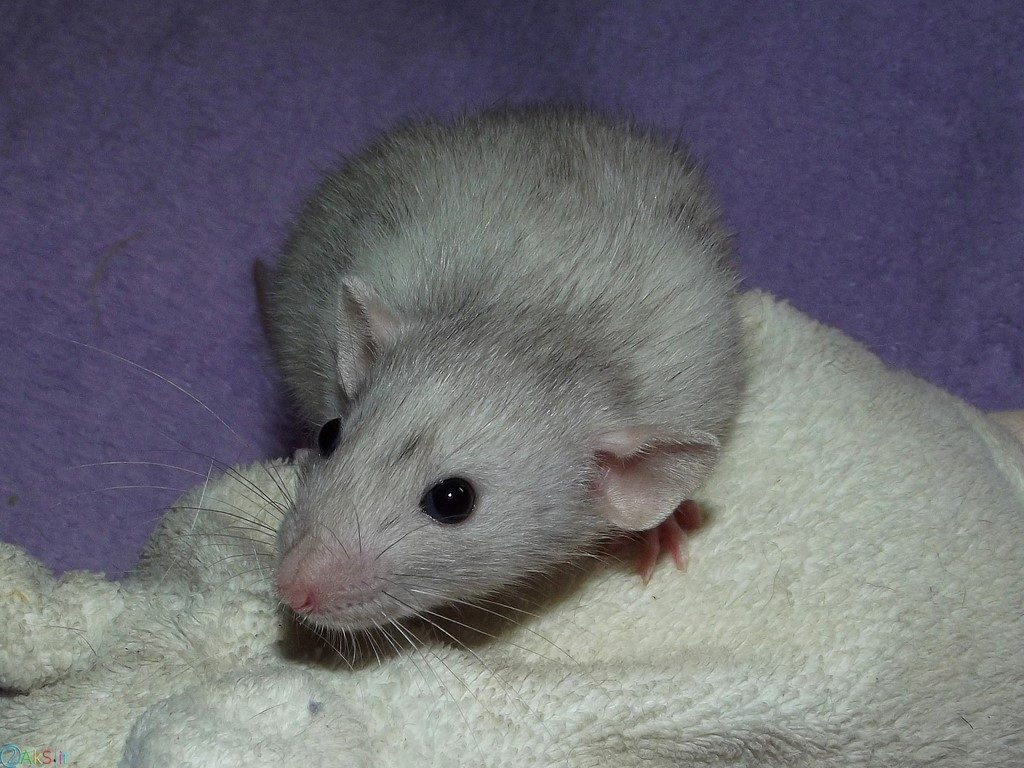 تصویر موش ها