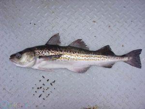 زغال ماهی آلاسکا