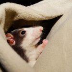 عکسهای موش
