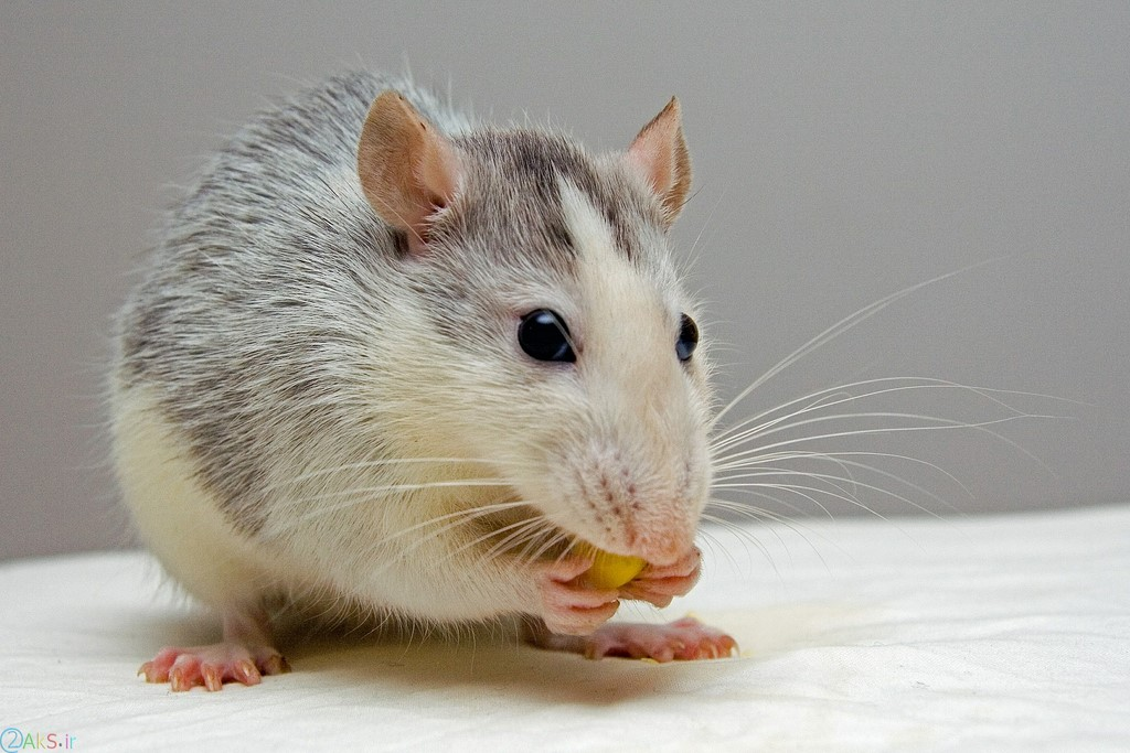 عکس موش با کیفیت بالا