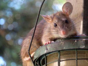 عکس موش ها