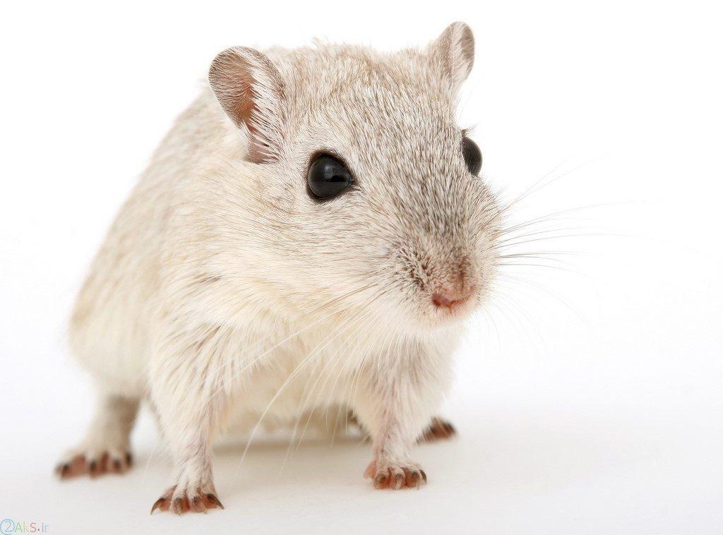 عکس موش