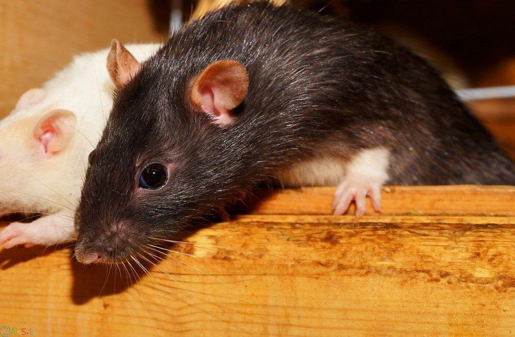 عکس های موش