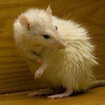 عکس و تصاویر موش