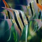 ماهی آنجل سهخط