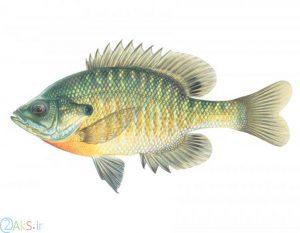 ماهی بلوگیل