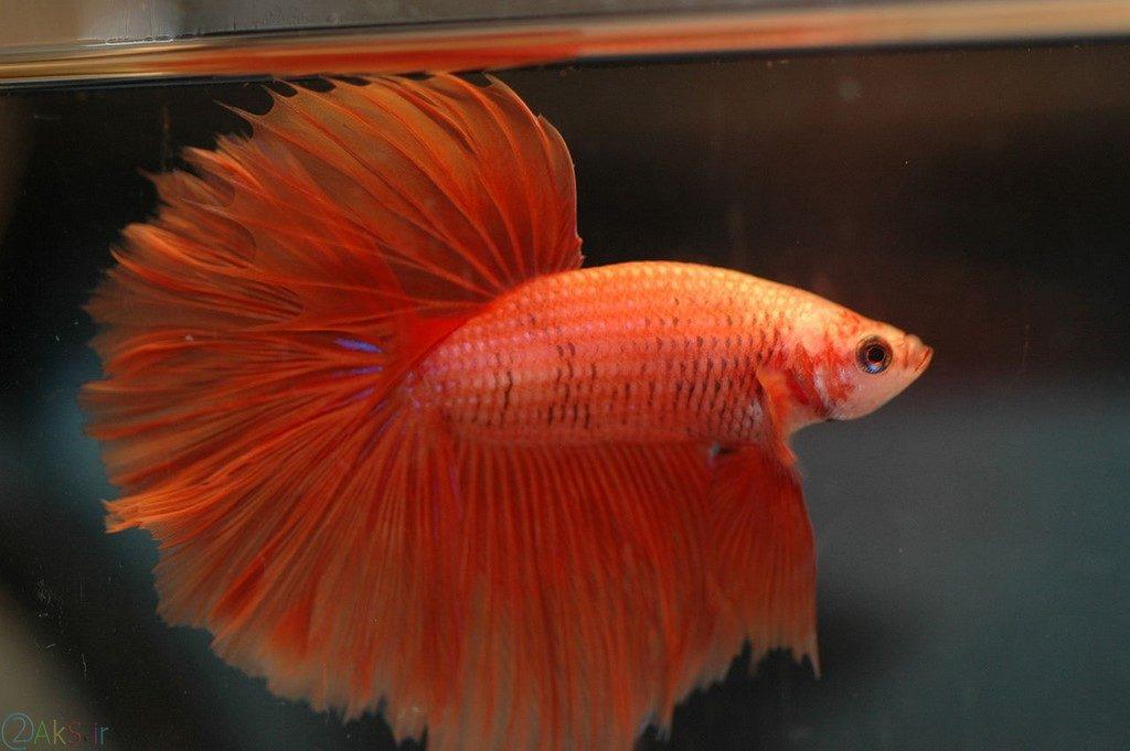 ماهی جنگجوی سیامی