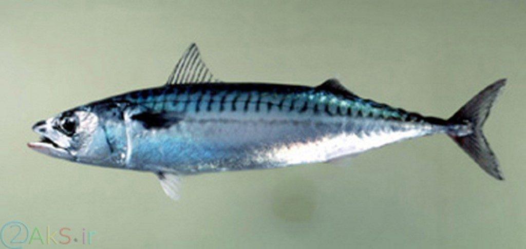ماهی خالخالی