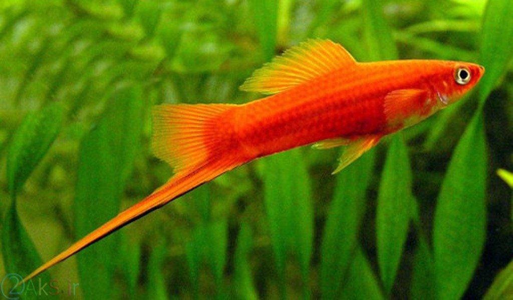 ماهی دمشمشیری