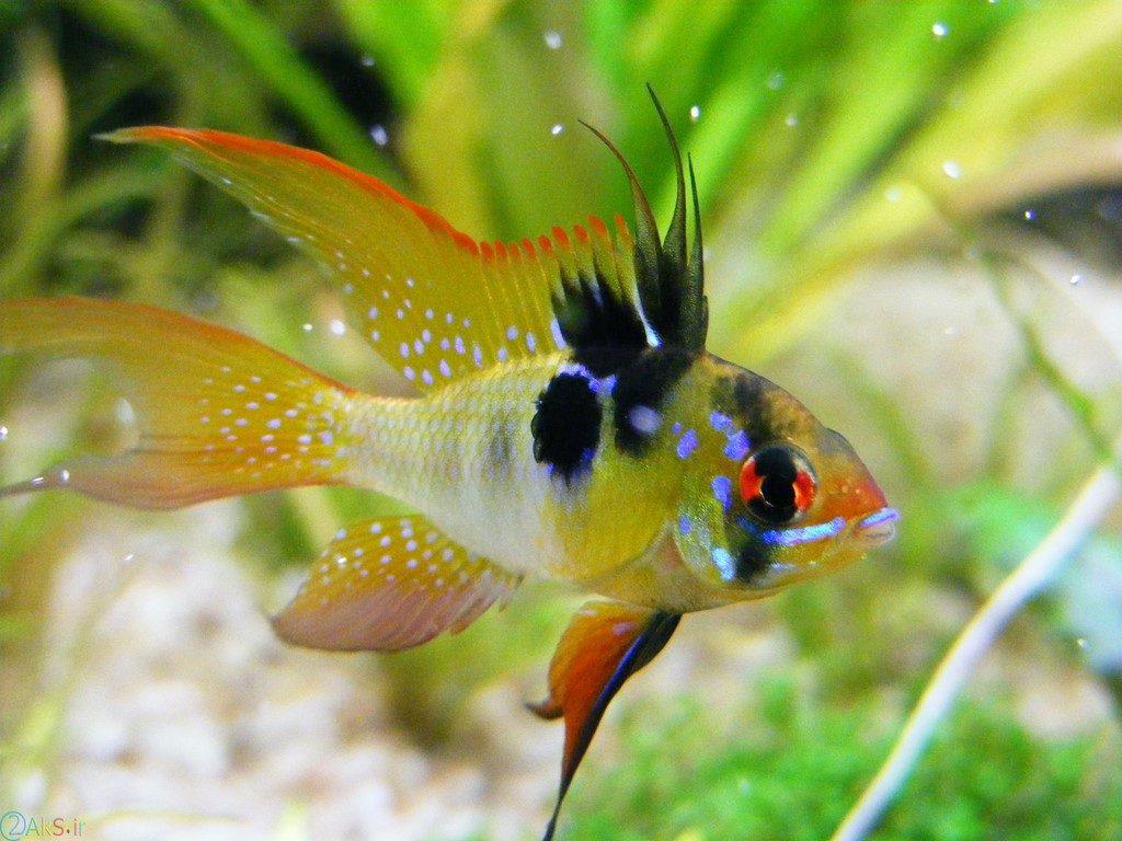 ماهی سیکلید رامیرزی