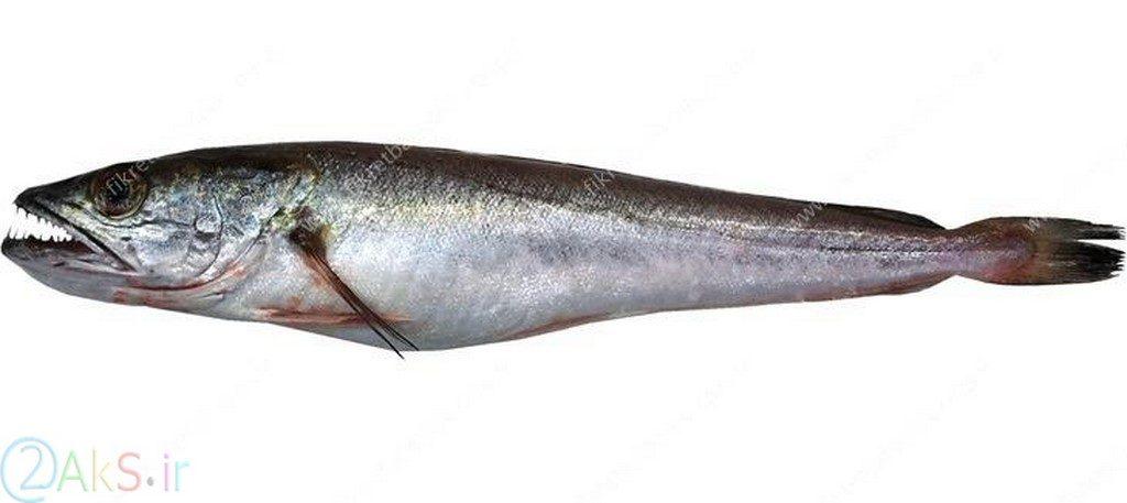 ماهی قلاب دهان